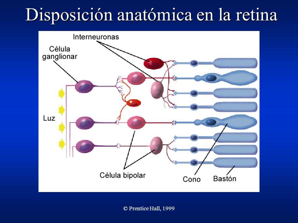 © Prentice Hall, 1999 Disposición anatómica en la retina