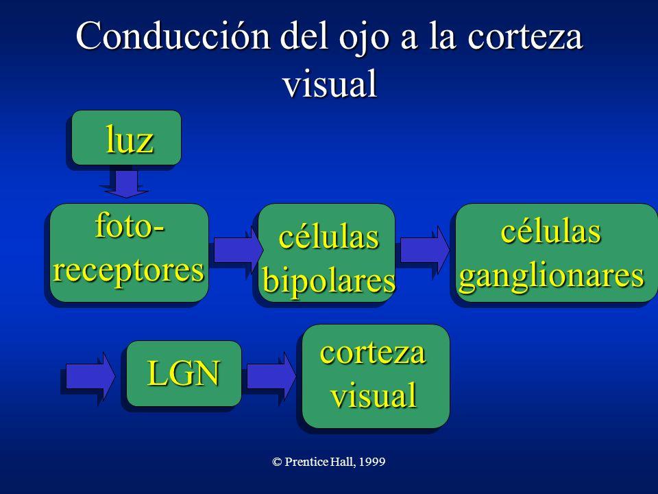 © Prentice Hall, 1999 Conducción del ojo a la corteza visual luz foto- receptores células bipolares células ganglionares LGN corteza visual