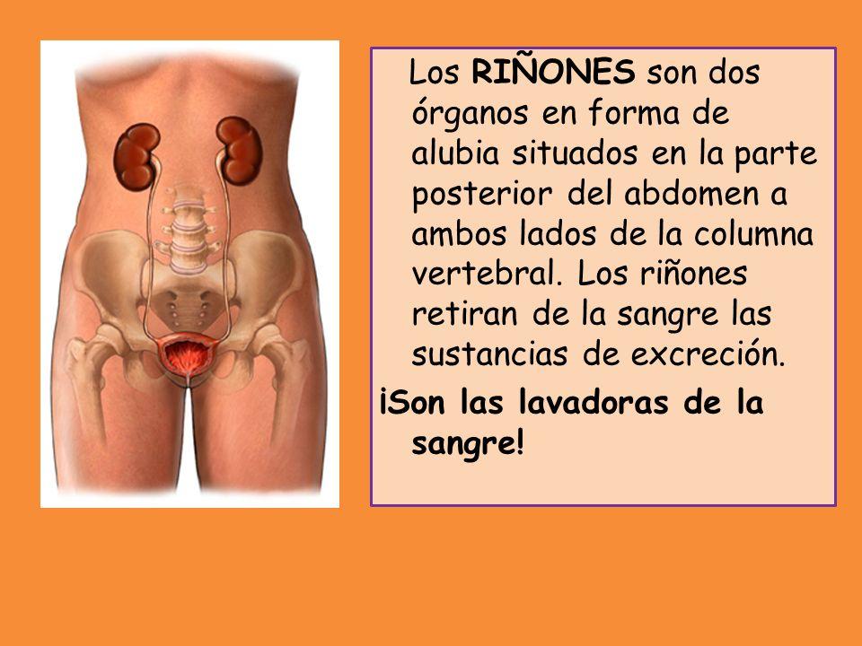 Los RIÑONES son dos órganos en forma de alubia situados en la parte posterior del abdomen a ambos lados de la columna vertebral. Los riñones retiran d