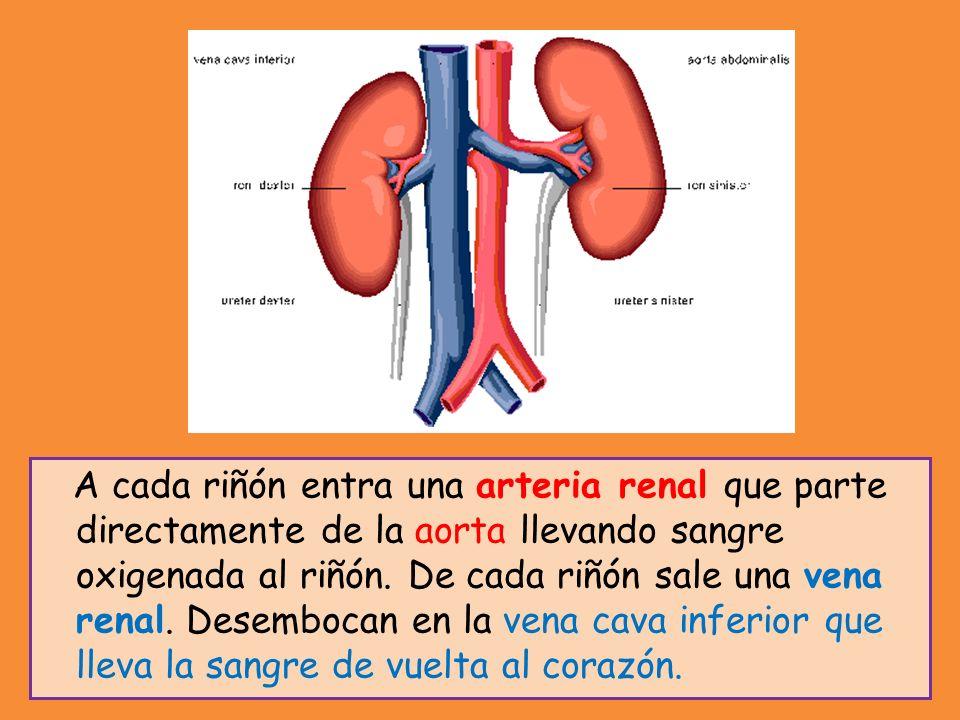 A cada riñón entra una arteria renal que parte directamente de la aorta llevando sangre oxigenada al riñón. De cada riñón sale una vena renal. Desembo
