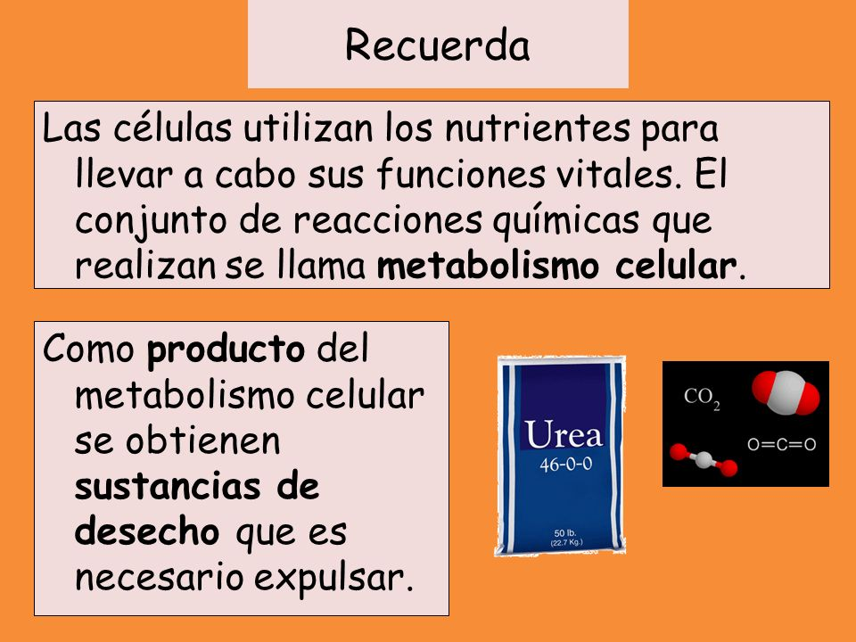 Recuerda Las principales sustancias de desecho son: Dióxido de carbono: Producto del metabolismo energético Urea y ácido úrico: Producto de la degradación de proteínas y ácidos nucléicos Sustancias tóxicas ingeridas