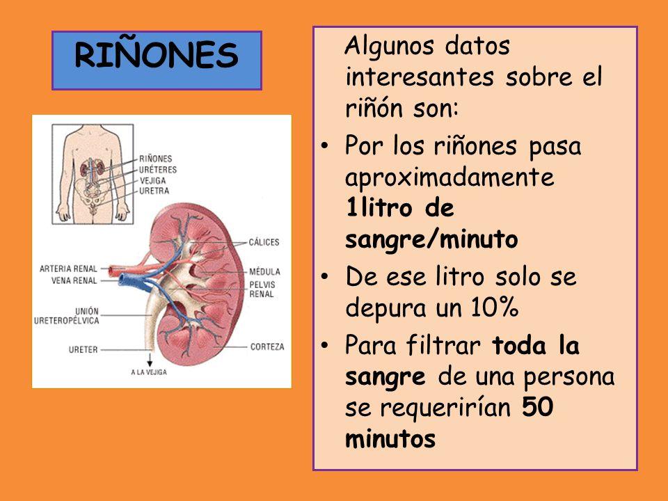 Algunos datos interesantes sobre el riñón son: Por los riñones pasa aproximadamente 1litro de sangre/minuto De ese litro solo se depura un 10% Para filtrar toda la sangre de una persona se requerirían 50 minutos RIÑONES