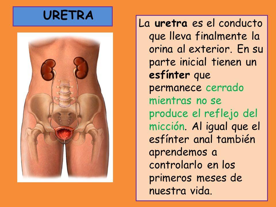 URETRA La uretra es el conducto que lleva finalmente la orina al exterior. En su parte inicial tienen un esfínter que permanece cerrado mientras no se