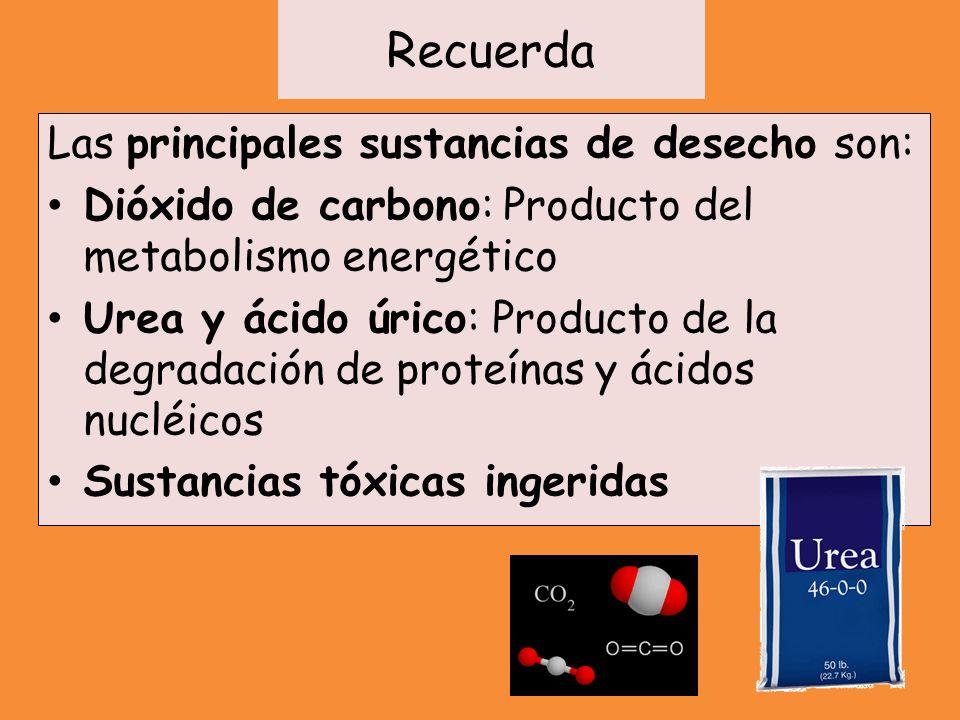 Recuerda Las principales sustancias de desecho son: Dióxido de carbono: Producto del metabolismo energético Urea y ácido úrico: Producto de la degrada