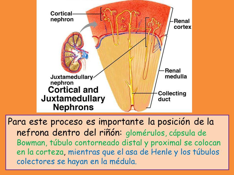 Para este proceso es importante la posición de la nefrona dentro del riñón: glomérulos, cápsula de Bowman, túbulo contorneado distal y proximal se col