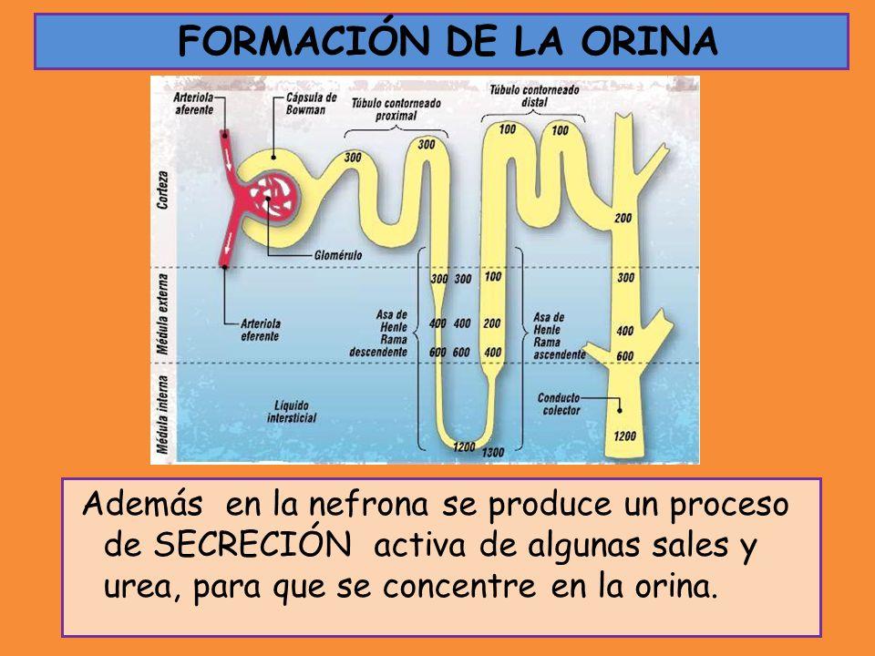 Además en la nefrona se produce un proceso de SECRECIÓN activa de algunas sales y urea, para que se concentre en la orina. FORMACIÓN DE LA ORINA