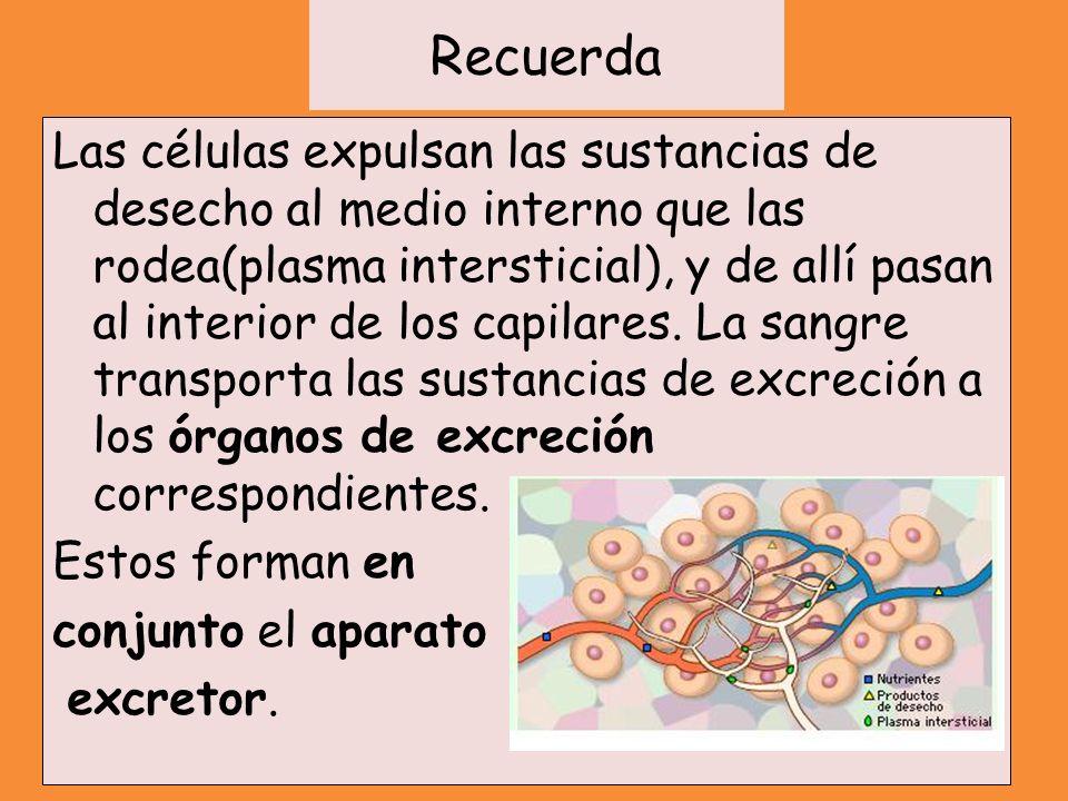 Recuerda Las células expulsan las sustancias de desecho al medio interno que las rodea(plasma intersticial), y de allí pasan al interior de los capila