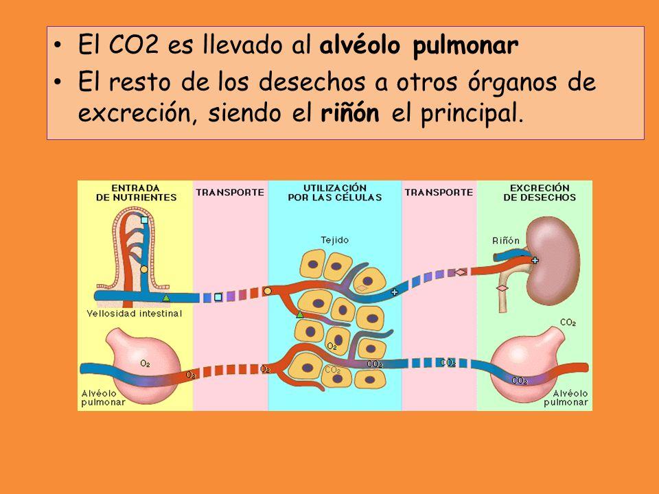 El CO2 es llevado al alvéolo pulmonar El resto de los desechos a otros órganos de excreción, siendo el riñón el principal.