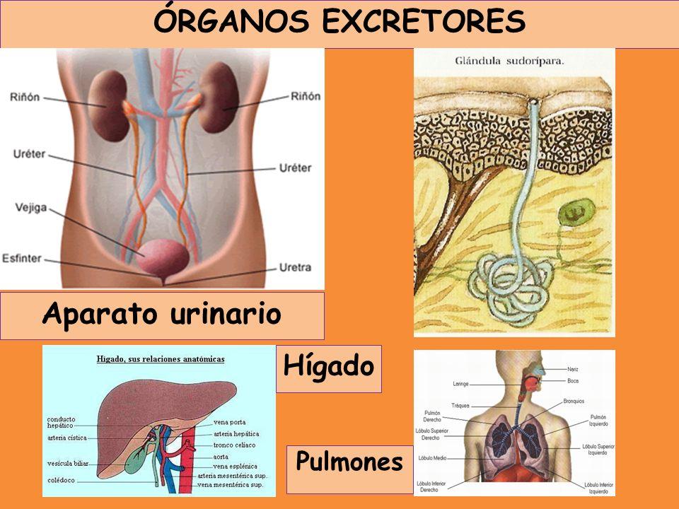 ÓRGANOS EXCRETORES Aparato urinario Hígado Pulmones