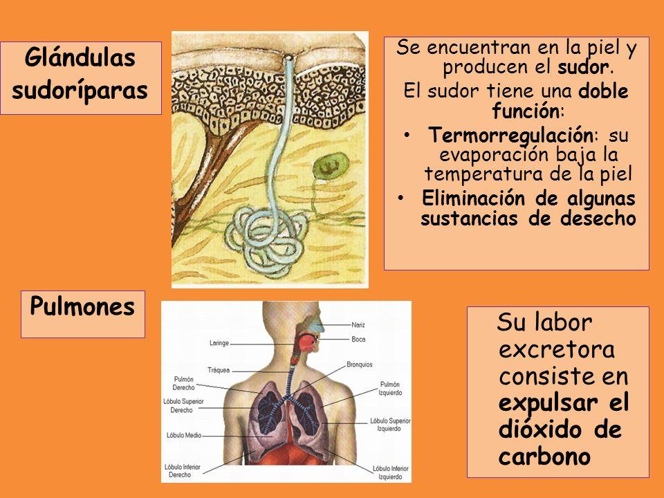 Pulmones Se encuentran en la piel y producen el sudor. El sudor tiene una doble función: Termorregulación: su evaporación baja la temperatura de la pi