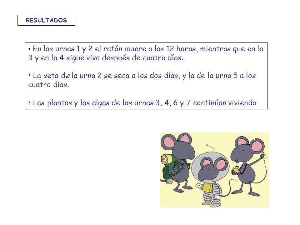 En las urnas 1 y 2 el ratón muere a las 12 horas, mientras que en la 3 y en la 4 sigue vivo después de cuatro días. La seta de la urna 2 se seca a los
