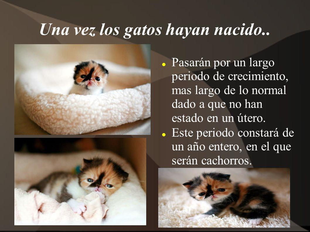 Una vez los gatos hayan nacido.. Pasarán por un largo periodo de crecimiento, mas largo de lo normal dado a que no han estado en un útero. Este period
