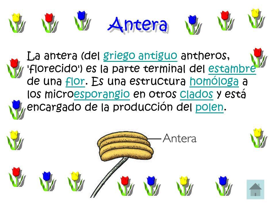 Antera La antera (del griego antiguo antheros, 'florecido') es la parte terminal del estambre de una flor. Es una estructura homóloga a los microespor