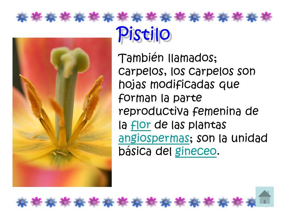Pistilo También llamados; carpelos, los carpelos son hojas modificadas que forman la parte reproductiva femenina de la flor de las plantas angiosperma