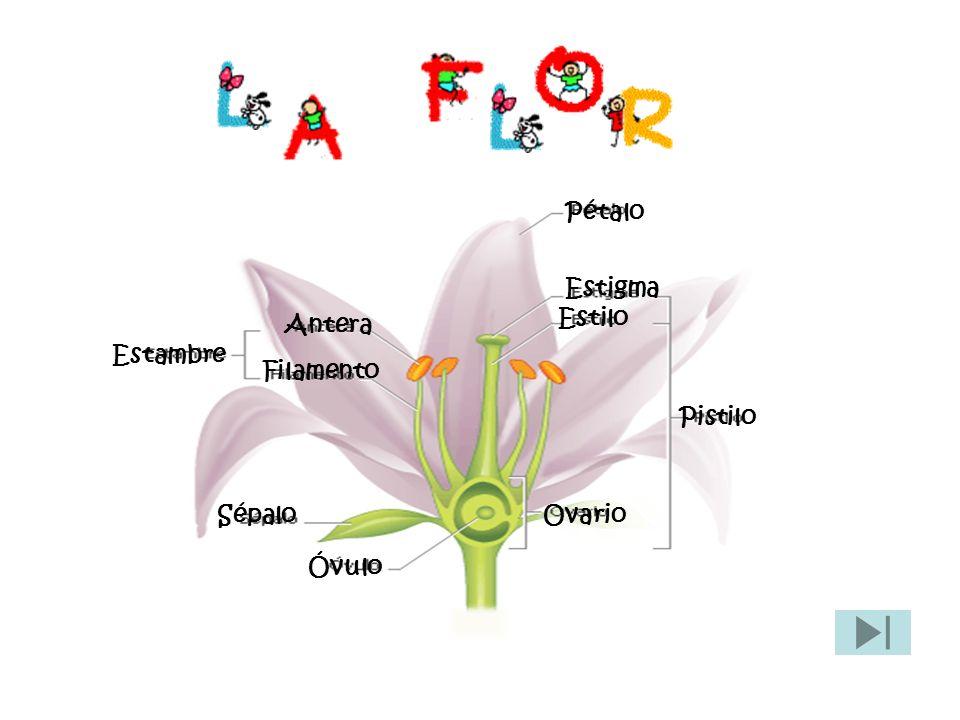 PÉTALO Es un antófilo que forma parte de la corola de una flor.
