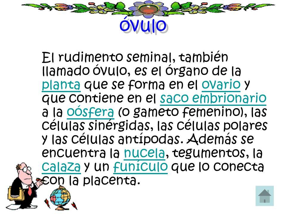 óvulo El rudimento seminal, también llamado óvulo, es el órgano de la planta que se forma en el ovario y que contiene en el saco embrionario a la oósf