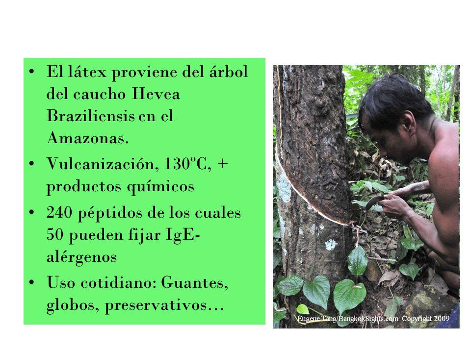 El látex proviene del árbol del caucho Hevea Braziliensis en el Amazonas. Vulcanización, 130ºC, + productos químicos 240 péptidos de los cuales 50 pue