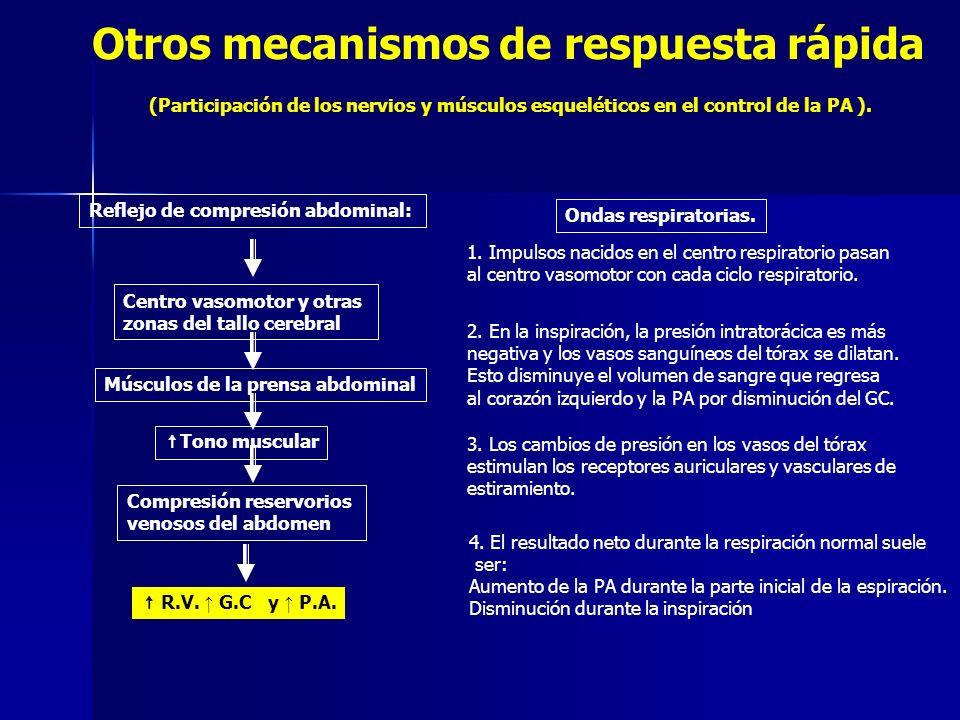 Otros mecanismos de respuesta rápida (Participación de los nervios y músculos esqueléticos en el control de la PA ). Ondas respiratorias. Reflejo de c