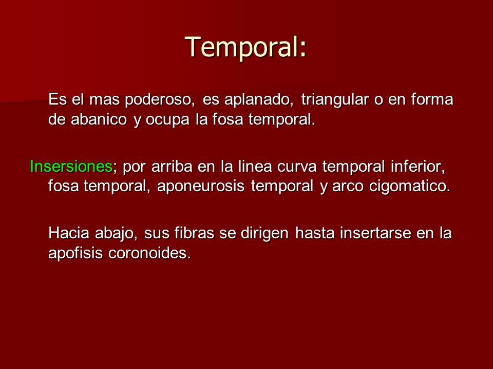 Temporal: Es el mas poderoso, es aplanado, triangular o en forma de abanico y ocupa la fosa temporal. Insersiones; por arriba en la linea curva tempor