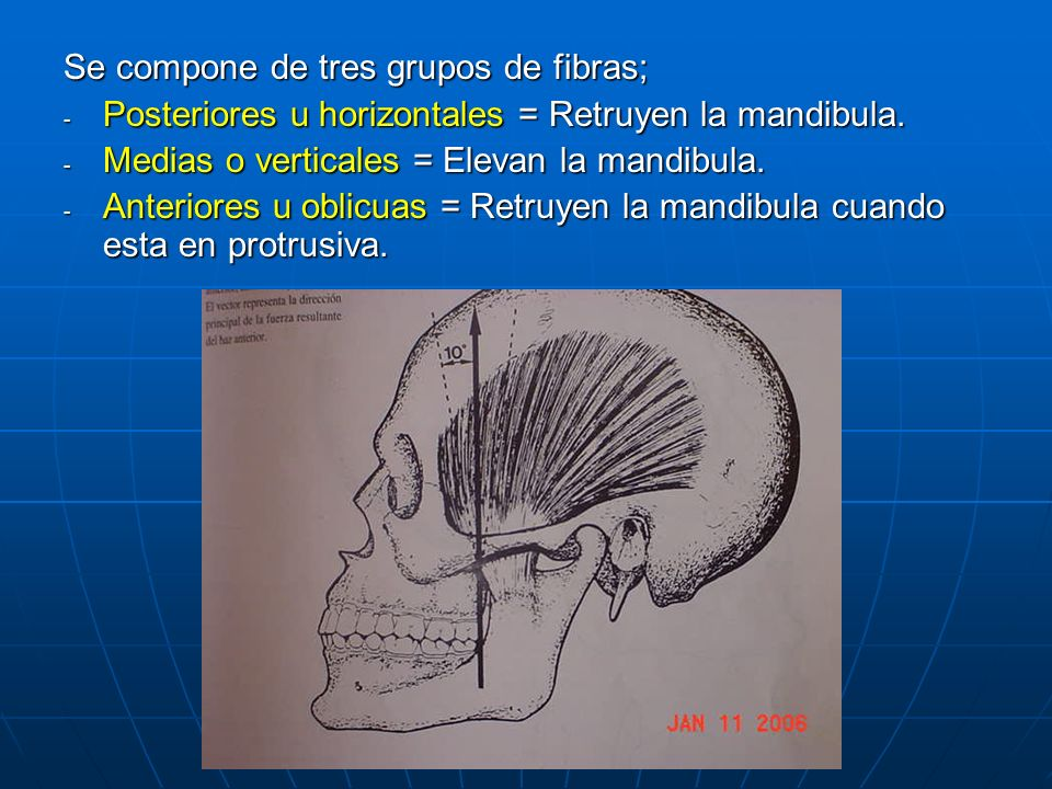 Se compone de tres grupos de fibras; - Posteriores u horizontales = Retruyen la mandibula. - Medias o verticales = Elevan la mandibula. - Anteriores u