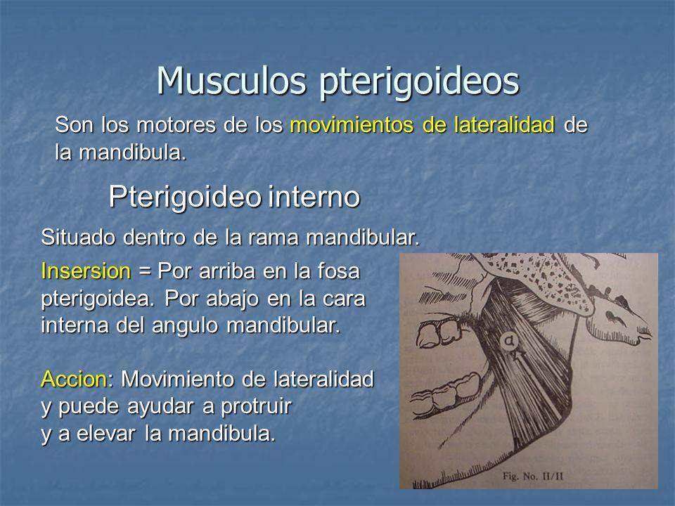 Musculos pterigoideos Son los motores de los movimientos de lateralidad de la mandibula. Pterigoideo interno Situado dentro de la rama mandibular. Ins