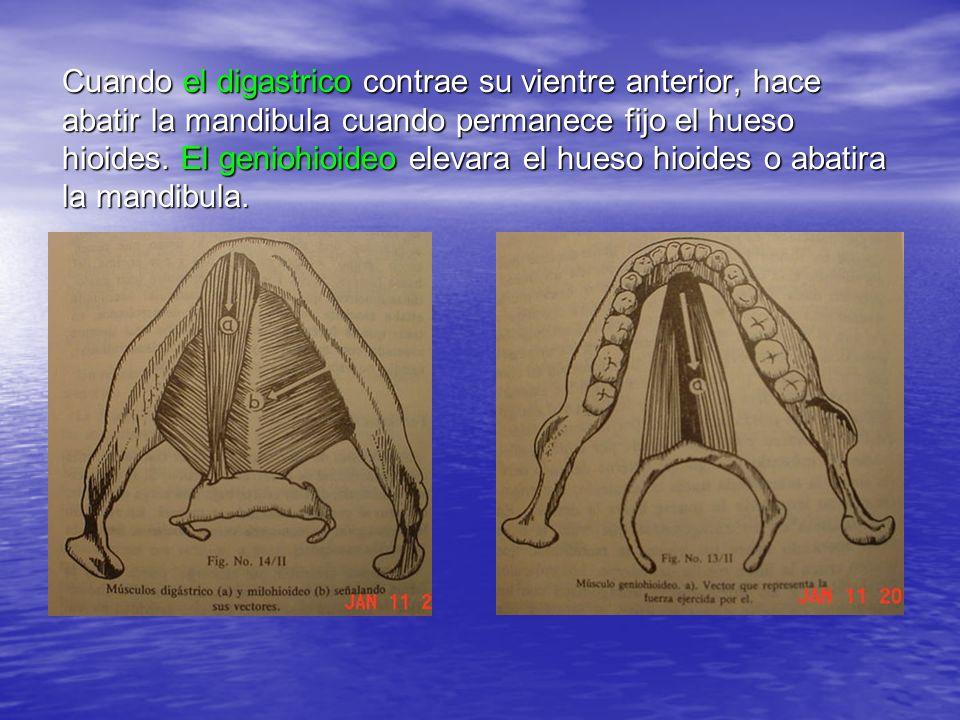 Cuando el digastrico contrae su vientre anterior, hace abatir la mandibula cuando permanece fijo el hueso hioides. El geniohioideo elevara el hueso hi