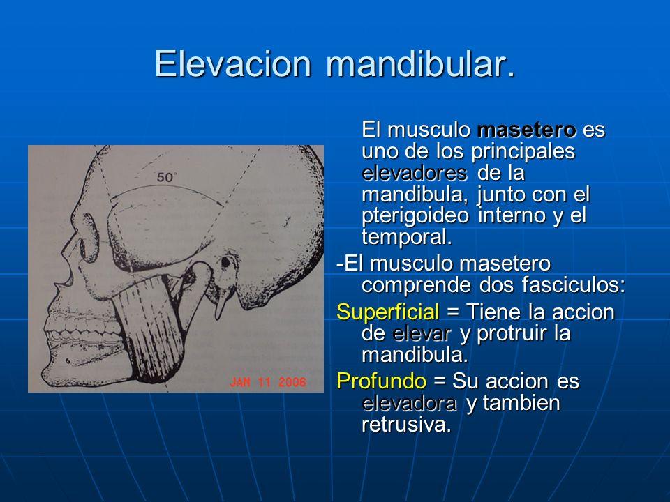 Elevacion mandibular. El musculo masetero es uno de los principales elevadores de la mandibula, junto con el pterigoideo interno y el temporal. -El mu