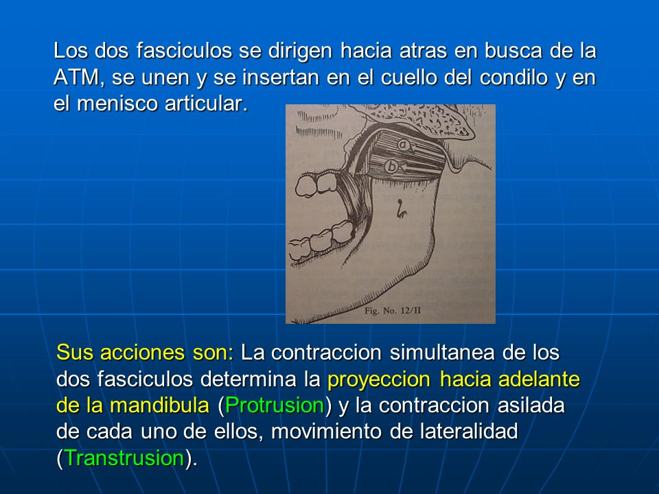 Los dos fasciculos se dirigen hacia atras en busca de la ATM, se unen y se insertan en el cuello del condilo y en el menisco articular. Sus acciones s