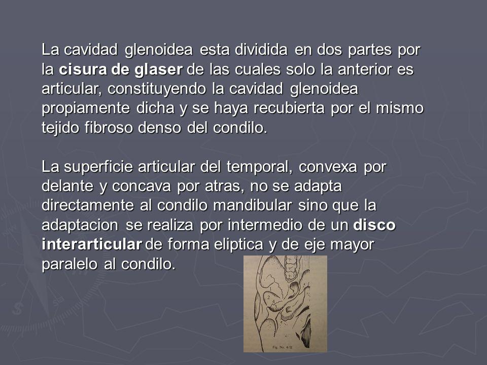 La cavidad glenoidea esta dividida en dos partes por la cisura de glaser de las cuales solo la anterior es articular, constituyendo la cavidad glenoid