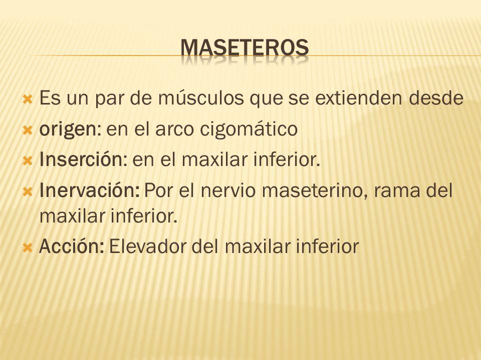 Es un par de músculos que se extienden desde origen: en el arco cigomático Inserción: en el maxilar inferior. Inervación: Por el nervio maseterino, ra