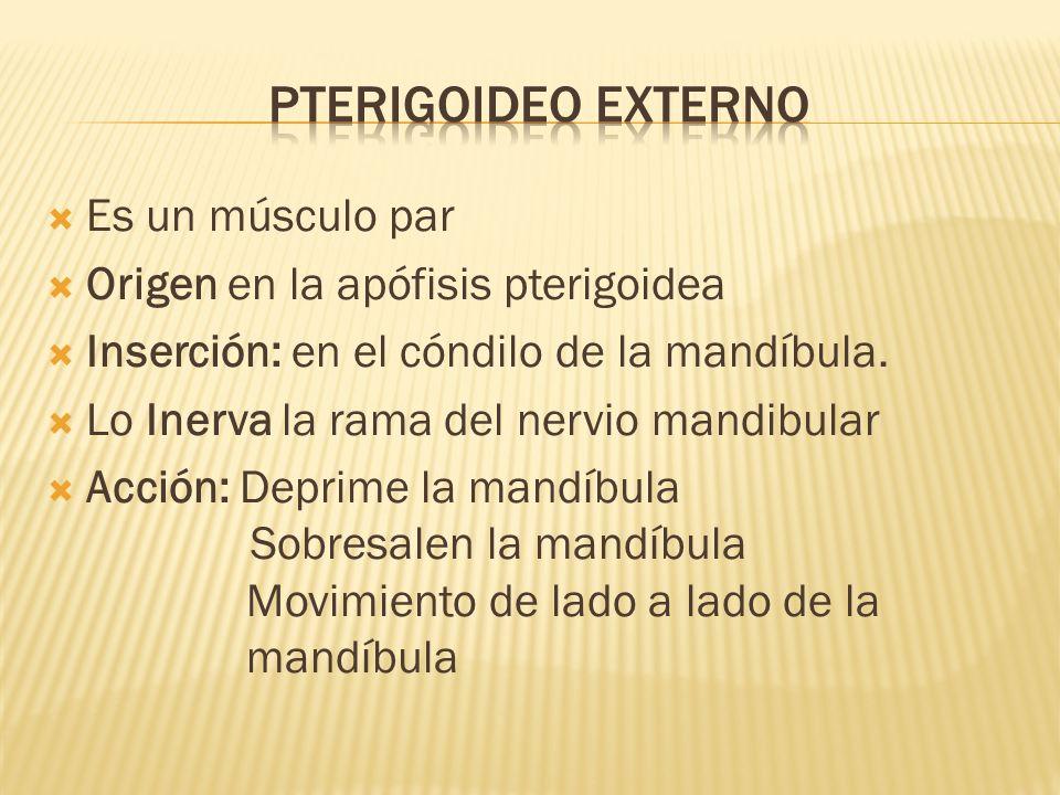Es un músculo par Origen en la apófisis pterigoidea Inserción: en el cóndilo de la mandíbula. Lo Inerva la rama del nervio mandibular Acción: Deprime
