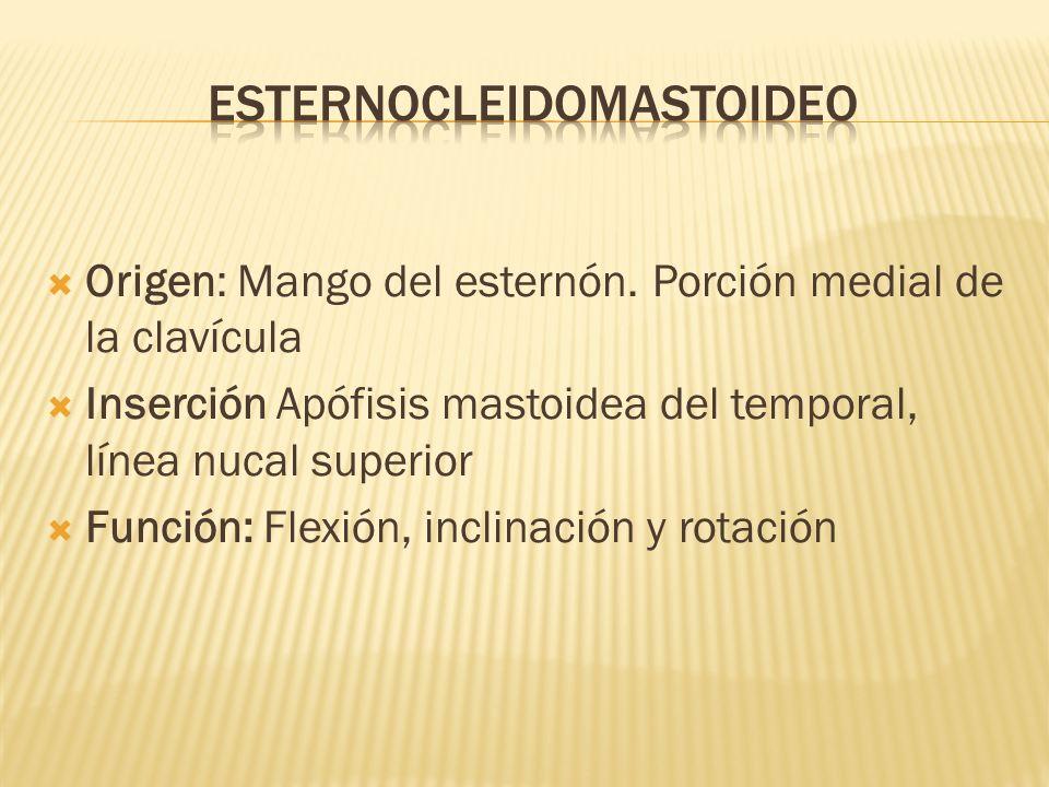Origen: Mango del esternón. Porción medial de la clavícula Inserción Apófisis mastoidea del temporal, línea nucal superior Función: Flexión, inclinaci