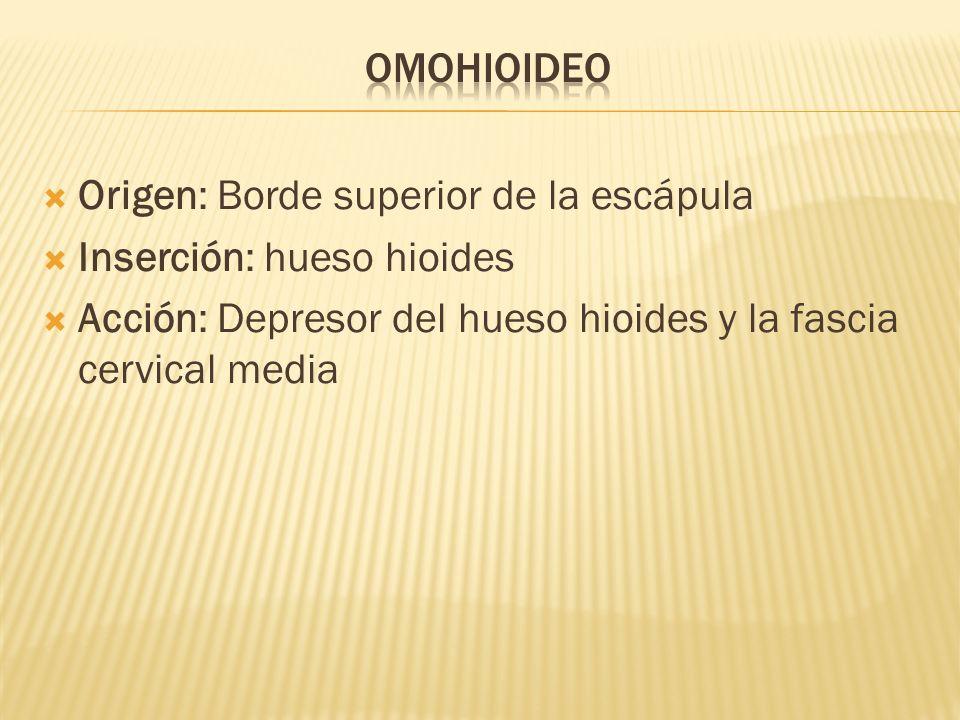 Origen: Borde superior de la escápula Inserción: hueso hioides Acción: Depresor del hueso hioides y la fascia cervical media