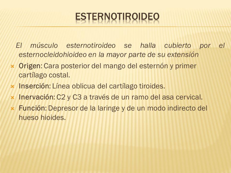El músculo esternotiroideo se halla cubierto por el esternocleidohioideo en la mayor parte de su extensión Origen: Cara posterior del mango del estern