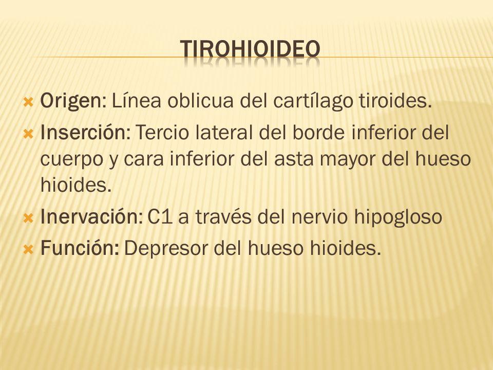Origen: Línea oblicua del cartílago tiroides. Inserción: Tercio lateral del borde inferior del cuerpo y cara inferior del asta mayor del hueso hioides