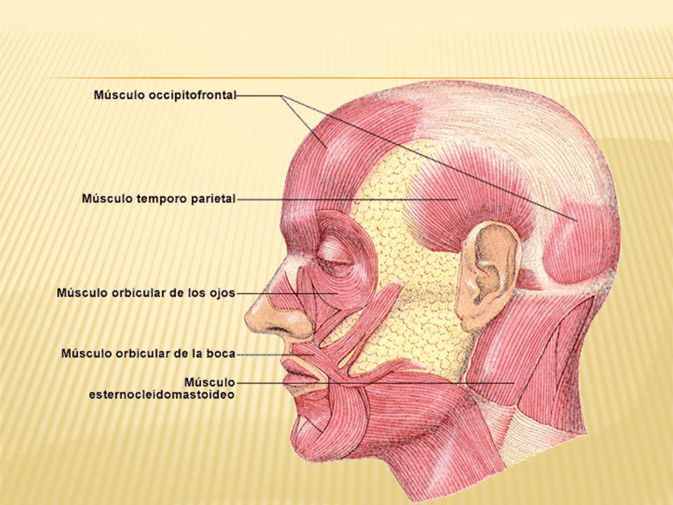 Es un músculo par Origen en la apófisis pterigoidea Inserción: en el cóndilo de la mandíbula.