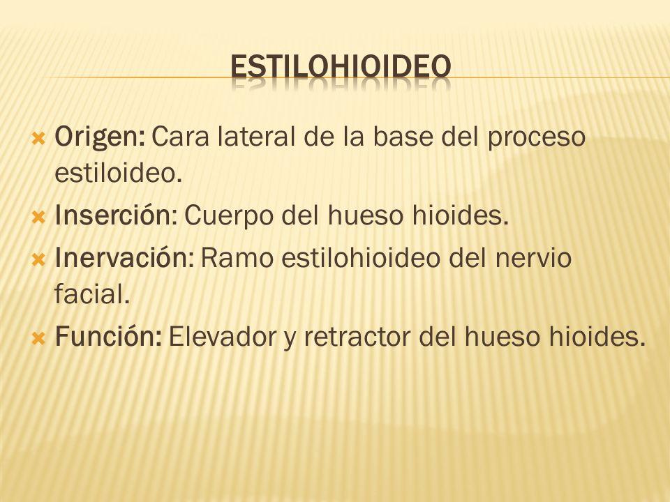 Origen: Cara lateral de la base del proceso estiloideo. Inserción: Cuerpo del hueso hioides. Inervación: Ramo estilohioideo del nervio facial. Función
