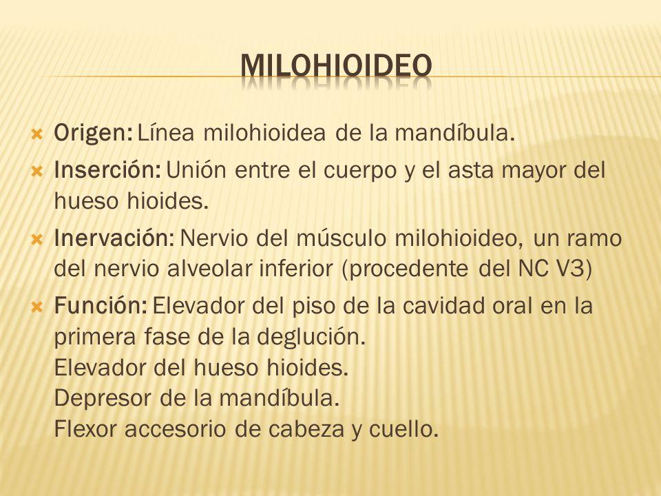 Origen: Línea milohioidea de la mandíbula. Inserción: Unión entre el cuerpo y el asta mayor del hueso hioides. Inervación: Nervio del músculo milohioi