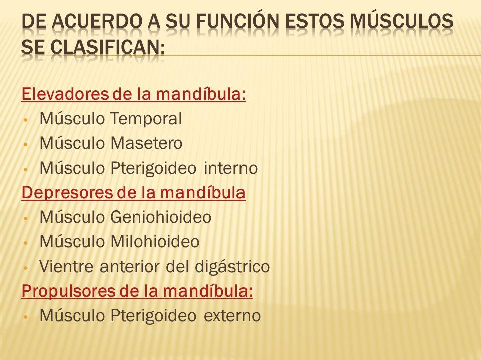 Elevadores de la mandíbula: Músculo Temporal Músculo Masetero Músculo Pterigoideo interno Depresores de la mandíbula Músculo Geniohioideo Músculo Milo