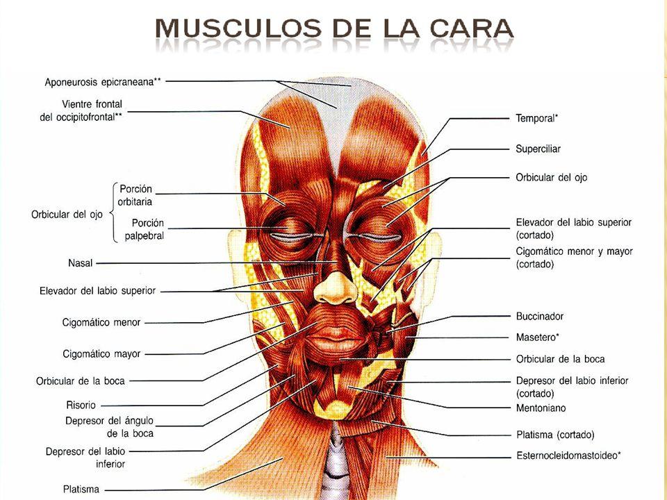Función: Los músculos de la cara contribuyen a la apertura y la oclusión de los orificios faciales, a la masticación y a las expresiones faciales mímica.