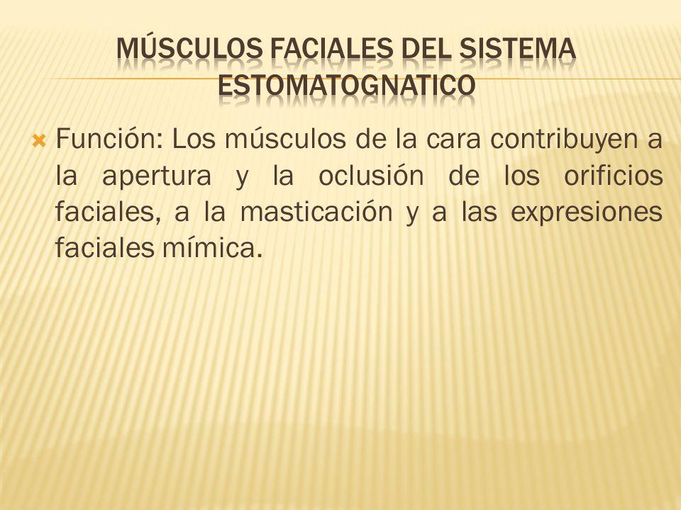 Función: Los músculos de la cara contribuyen a la apertura y la oclusión de los orificios faciales, a la masticación y a las expresiones faciales mími
