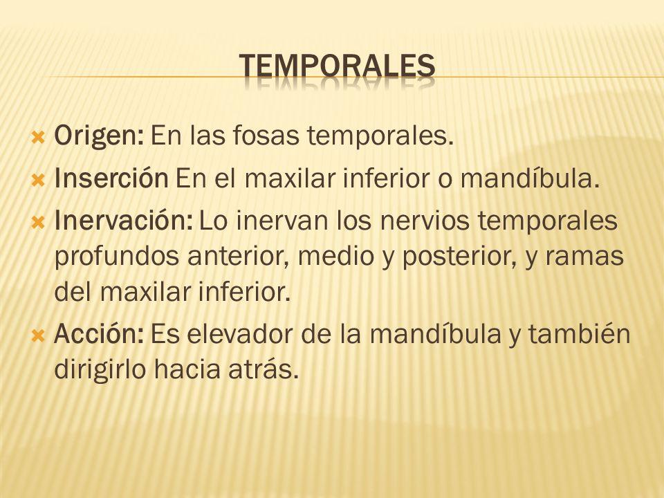 Origen: En las fosas temporales. Inserción En el maxilar inferior o mandíbula. Inervación: Lo inervan los nervios temporales profundos anterior, medio