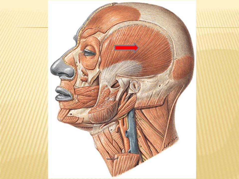 Es un par de músculos que se extienden desde origen: en el arco cigomático Inserción: en el maxilar inferior.