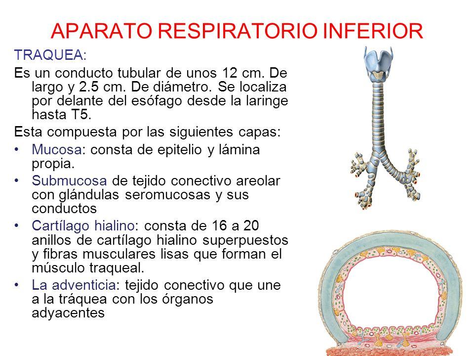 APARATO RESPIRATORIO INFERIOR TRAQUEA: Es un conducto tubular de unos 12 cm. De largo y 2.5 cm. De diámetro. Se localiza por delante del esófago desde