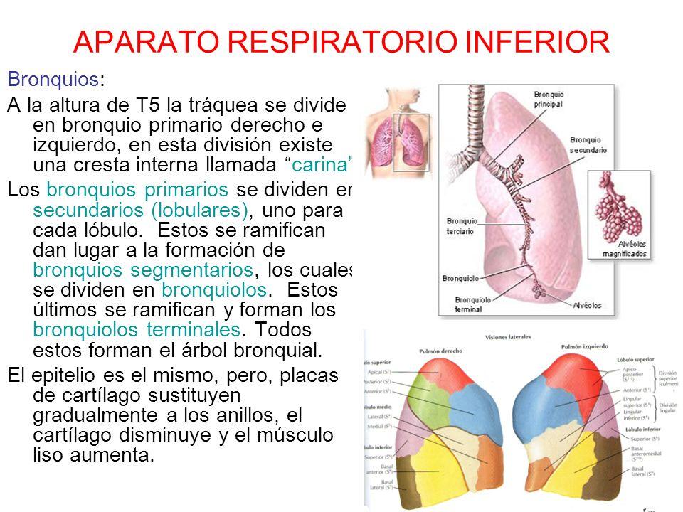 APARATO RESPIRATORIO INFERIOR Bronquios: A la altura de T5 la tráquea se divide en bronquio primario derecho e izquierdo, en esta división existe una
