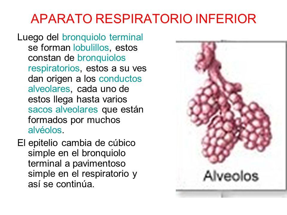 APARATO RESPIRATORIO INFERIOR Luego del bronquiolo terminal se forman lobulillos, estos constan de bronquiolos respiratorios, estos a su ves dan orige