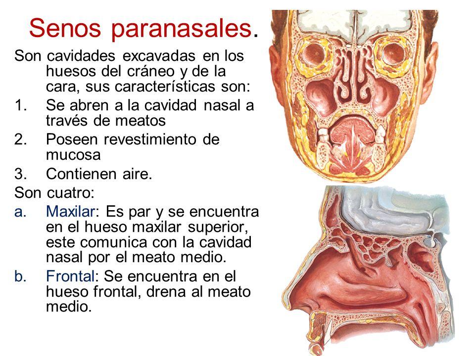 Senos paranasales. Son cavidades excavadas en los huesos del cráneo y de la cara, sus características son: 1.Se abren a la cavidad nasal a través de m