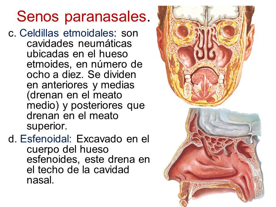 Senos paranasales. c. Celdillas etmoidales: son cavidades neumáticas ubicadas en el hueso etmoides, en número de ocho a diez. Se dividen en anteriores