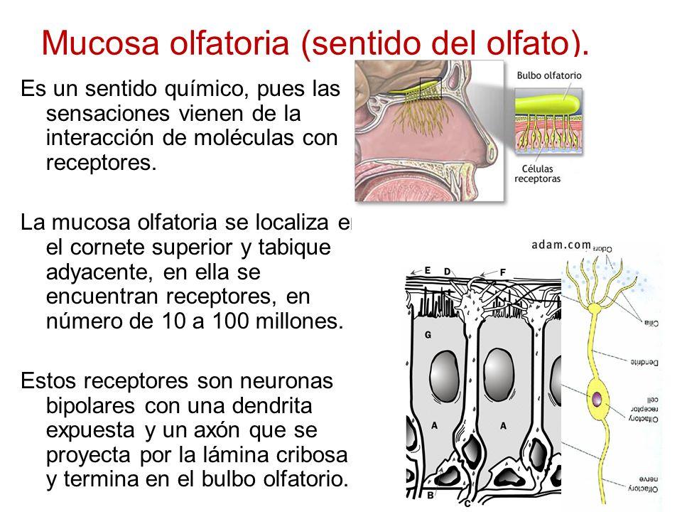 Mucosa olfatoria (sentido del olfato). Es un sentido químico, pues las sensaciones vienen de la interacción de moléculas con receptores. La mucosa olf