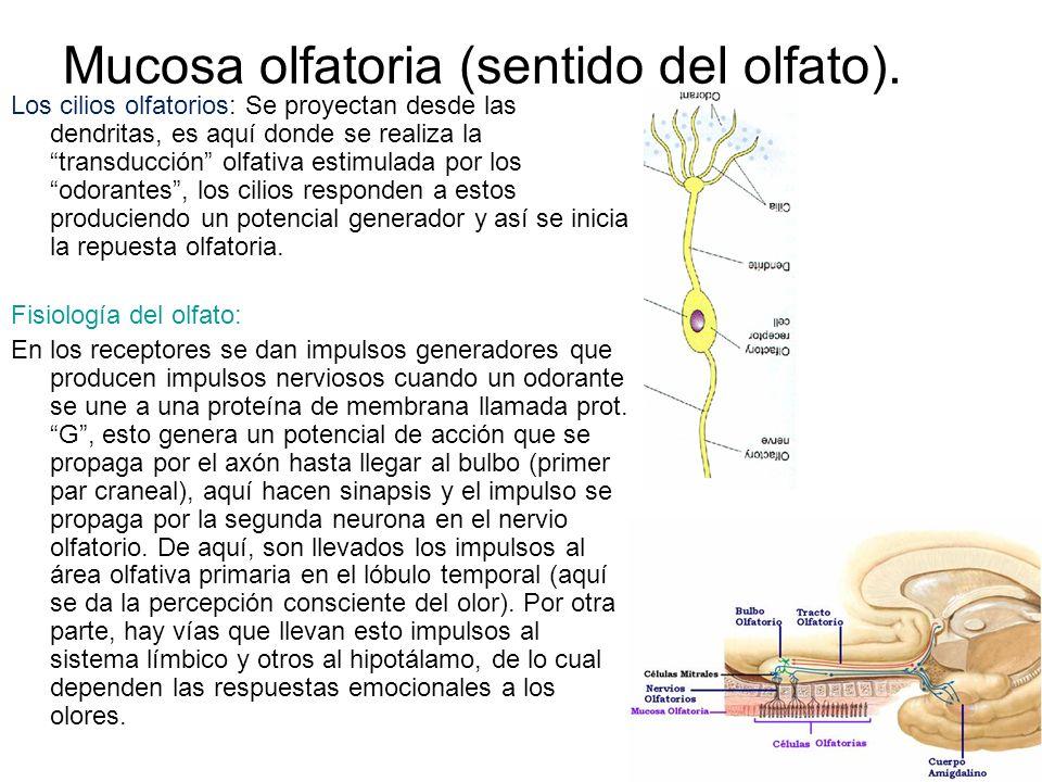 Mucosa olfatoria (sentido del olfato). Los cilios olfatorios: Se proyectan desde las dendritas, es aquí donde se realiza la transducción olfativa esti